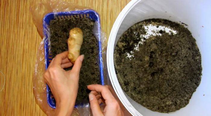 Як виростити імбир вдома на підвіконні і в городі на грядці? Простий метод, садіть вже зараз