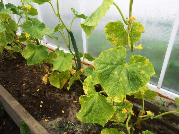 Чим потрібно полити огірки, щоб не жовтіло листя. Ділюся секретом!
