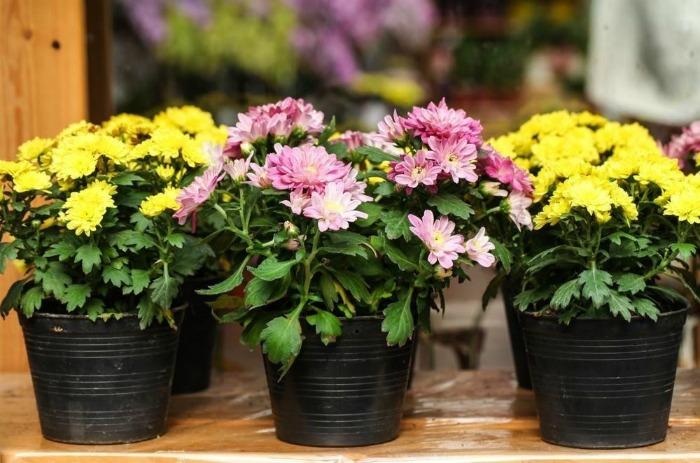 Хризантема в горщику: які нюанси необхідно знати щоб вона швидко прижилася в вашій квартирі