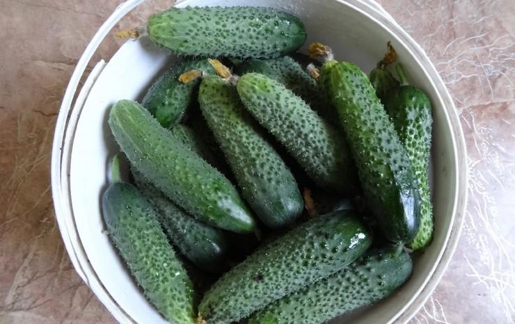 Коли збирати і як правильно зривати огірки, щоб не пошкодити рослини